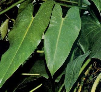 Fotografía de la planta Filodendro