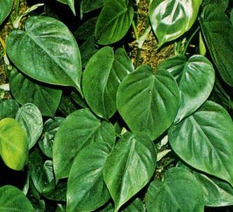 Fotografía de la planta Filodendro trepador