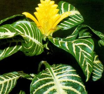 Fotografía de la planta Afelandra