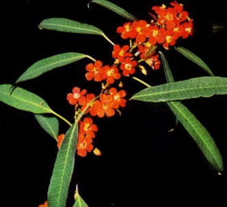 Fotografía de la planta Euforbia fulgente