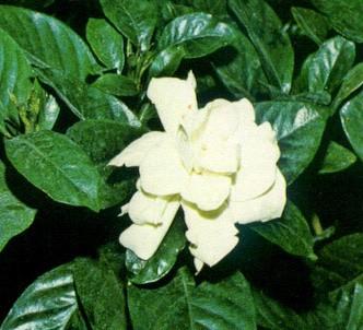 Fotografía de la planta Gardenia