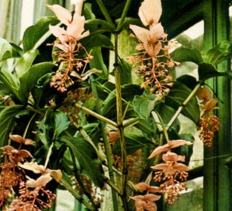 Fotografía de la planta Medinilla