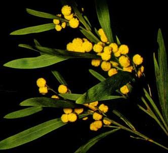 Fotografía de la planta Acacia
