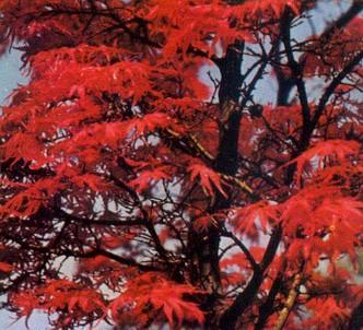 Fotografía de la planta Acer japonés