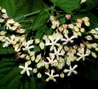Fotografía de la planta Clerodendro japonés