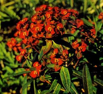 Fotografía de la planta Euforbia del himalaya