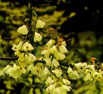 Fotografía de la planta Alesia