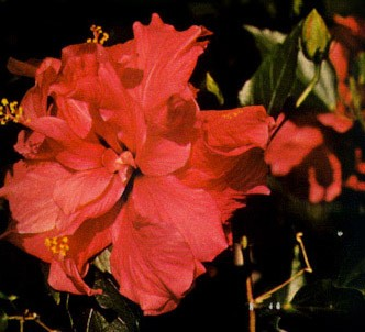 Fotografía de la planta Rosa de china