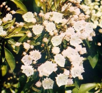 Fotografía de la planta Kalmia