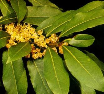Fotografía de la planta Laurel