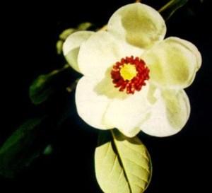 Magnolia de flores pequeñas