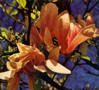 Fotografía de la planta Árbol lirio