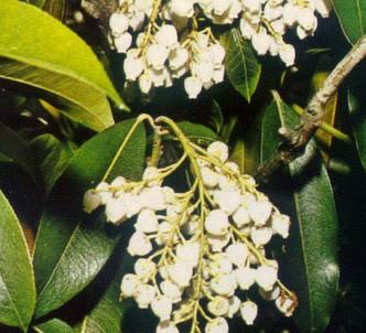 Fotografía de la planta Andrómeda
