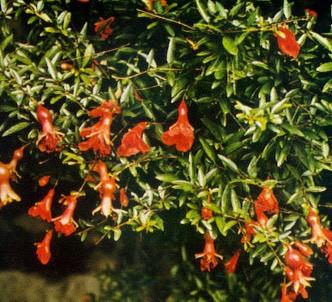 Fotografía de la planta Granado enano