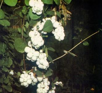 Fotografía de la planta Baya de nieve
