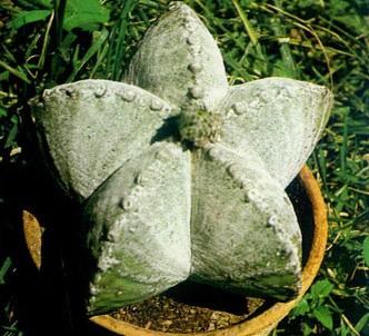 Fotografía de la planta Bonete
