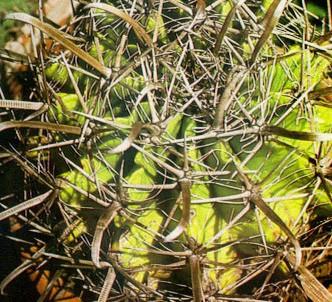Fotografía de la planta Peyote