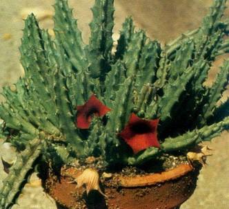 Fotografía de la planta Uernia
