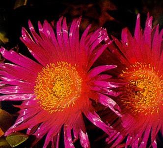 Fotografía de la planta Flor de cuchillo - Diente de dragón
