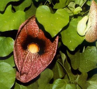 Fotografía de la planta Aristoloquia