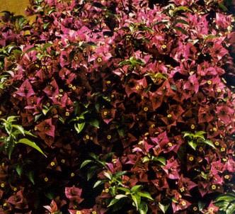 Fotografía de la planta Bugainvilea - Buganvilla