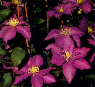Fotografía de la planta Clemátide lasurstern