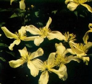 Clemátide montana