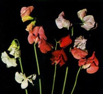 Fotografía de la planta Guisante de olor