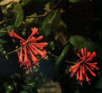 Fotografía de la planta Madreselva siempreverde
