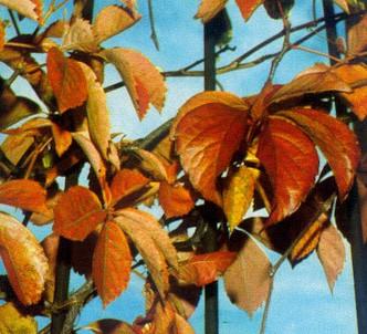 Fotografía de la planta Viña virgen