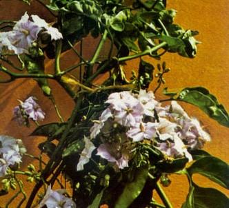 Fotografía de la planta Solano