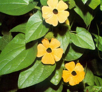 Fotografía de la planta Ojo de poeta