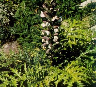 Fotografía de la planta Acanto espinoso