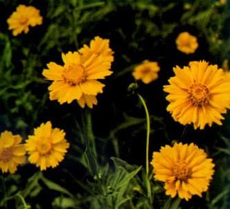 Fotografía de la planta Coreopsis