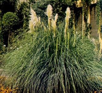 Fotografía de la planta Hierba de las pampas