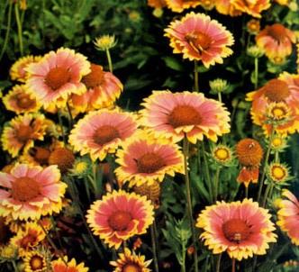 Fotografía de la planta Gallardia