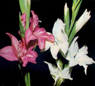 Fotografía de la planta Gladiolo menor