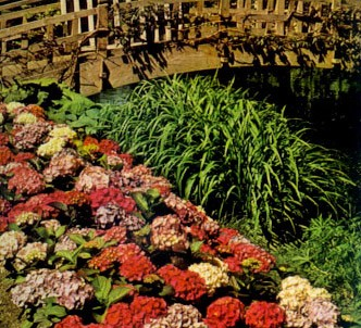 Fotografía de la planta Hortensia
