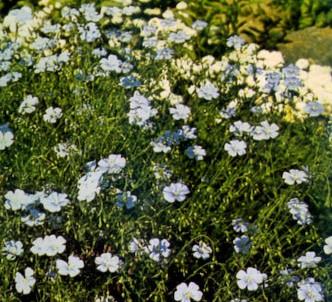 Fotografía de la planta Lino perenne