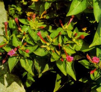 Fotografía de la planta Dondiego de noche