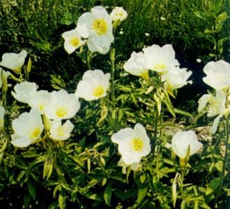 Fotografía de la planta Onagra blanca