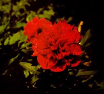 Fotografía de la planta Peonia
