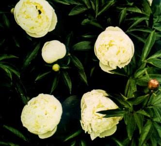 Fotografía de la planta Peonia china