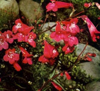 Fotografía de la planta Dedalera
