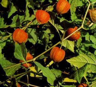 Fotografía de la planta Alouequenje