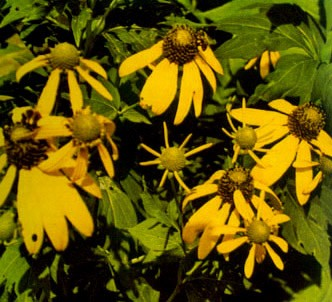 Fotografía de la planta Rudbeckia amarilla