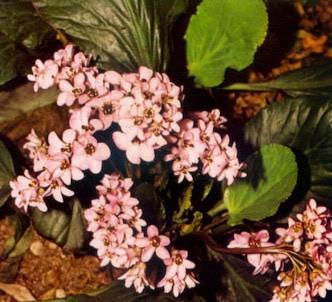 Fotografía de la planta Hortensia de invierno