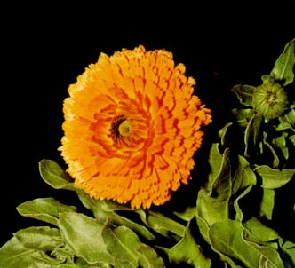 Fotografía de la planta Maravilla - Caléndula H.