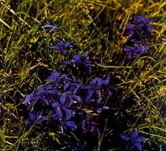 Fotografía de la planta Genciana de primavera