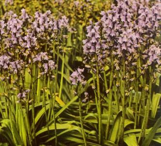Fotografía de la planta Escila española